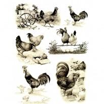 Ριζόχαρτο Κότες και Αυγά
