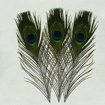 Φτερό Παγωνιού